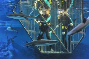 Bluereef-zwemmen-met-haaien